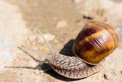 Domestic snail. Macro shoot of the domestic snail stock image