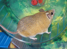Domestic spiny mouse Stock Images