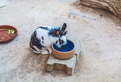 The domestic spotty black-and-white rabbit drinks water from a bowl. The lovely animal walks in the yard. The domestic spotty black-and-white rabbit drinks stock photography