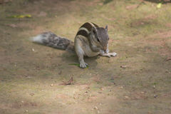 Domestic squirrel India Royalty Free Stock Photography