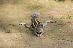 Domestic squirrel India Stock Photos