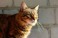 Striped cat. Green eyes, pets, farm, long whiskers, wall, sun, summer Royalty Free Stock Photos