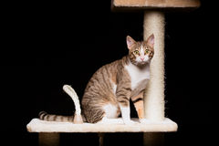 Domestic striped cat staring Stock Photo