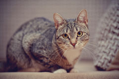 Domestic striped cat Stock Photography