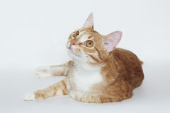 Domestic striped orange cat on the white. Background Stock Photography
