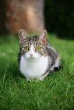 Domestic tabby cat Stock Photos