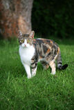 Domestic tabby cat Stock Image