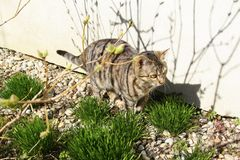 Tabby Cat on the Yard. Domestic tabby cat behind branches on the yard preying on something near a grey wall royalty free stock photos