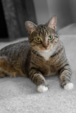 Domestic Tabby Cat on Carpet Stock Image