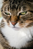 Domestic tabby cat. Close up  domestic tabby cat Royalty Free Stock Image