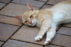 Tabby cat laying on bricks. Domestic tabby cat laying of bricks outdoors stock photography