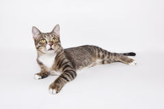 Domestic tabby cat lying on the white. Background Royalty Free Stock Image