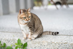Domestic tabby cat Royalty Free Stock Images