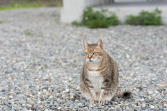 Domestic tabby cat Stock Photography