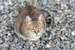 Domestic tabby cat Royalty Free Stock Photography