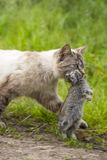 Domestic tabby cat. The return of hunting Stock Photography