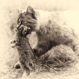 Domestic tabby cat. The return of hunting. Sepia toned Stock Photo