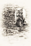 Domestic tabby cat. The return of hunting Stock Images