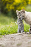 Domestic tabby cat. The return of hunting Stock Photos