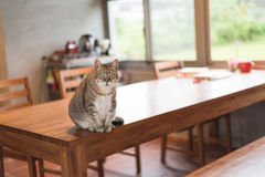 Domestic tabby cat. Sit on the table in the house Royalty Free Stock Photo