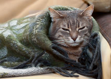 Domestic tabby cat sleeping in a blanket Royalty Free Stock Images