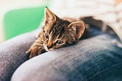 Domestic Tabby Kitten on Lap in Pensive Look. Close up Domestic Tabby Kitten Relaxing on Top of Lap of a Man with Pensive Facial Expression Royalty Free Stock Image