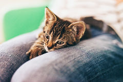 Domestic Tabby Kitten on Lap in Pensive Look Royalty Free Stock Image