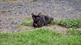 Thai adorable brown cat fur with black stripe lines stock video footage