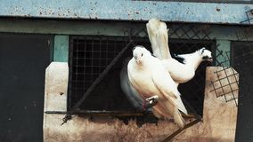 Domestic thoroughbred pigeons are sitting near the dovecote.  stock footage