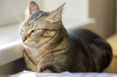 Domestic tiger cat lying on central heating next the window sill. Unhappy face Stock Photography