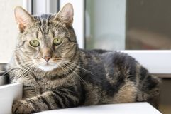Domestic tiger cat lying on window sill, eye contact. Cute hairy pet with lime eyes Royalty Free Stock Images