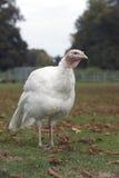 Domestic turkey Royalty Free Stock Image