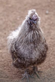 Domestic turkey chick in the outdoor bird yard. Stock Image