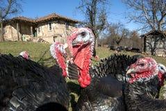 Domestic turkey closeup Stock Photo