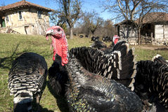 Domestic turkey closeup Stock Images