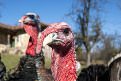 Domestic turkey closeup Royalty Free Stock Photography