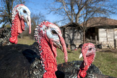 Domestic turkey closeup Royalty Free Stock Photos