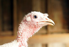 Domestic turkey Royalty Free Stock Images