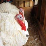 Domestic turkeys Royalty Free Stock Photo