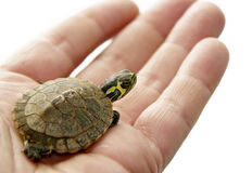 A domestic turtle Stock Images