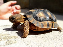 Domestic turtle. Pet Stock Images