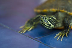 Domestic turtle Royalty Free Stock Image