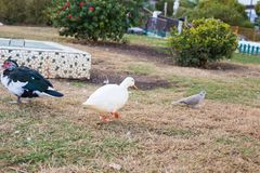 Domestic village ducks on green grass outdoors stock photography
