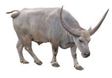 Domestic water buffalo cut out Stock Image