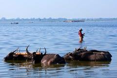 Domestic Water Buffalo Royalty Free Stock Photo