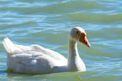 Domestic White African Goose stock photo