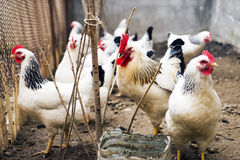 Domestic white, black and brown chicken eating millet from a wooden trough. Top view Stock Photo