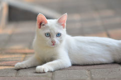 Domestic white cat Stock Images