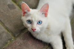 Domestic white cat Royalty Free Stock Photo