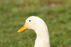 Domestic white duck portrait Stock Images